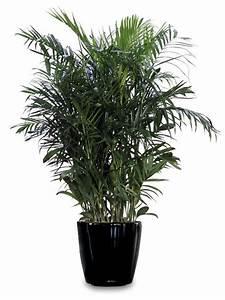 Bambus Pflege Zimmerpflanze : 9 zimmerpflanzen welche die luft reinigen und fast unm glich sind um zu t ten bambus palmen ~ Frokenaadalensverden.com Haus und Dekorationen