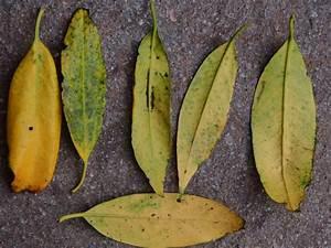 Kamelie Gelbe Blätter : fragen an den meister massiv gelbe bl tter bei prunus ~ Lizthompson.info Haus und Dekorationen