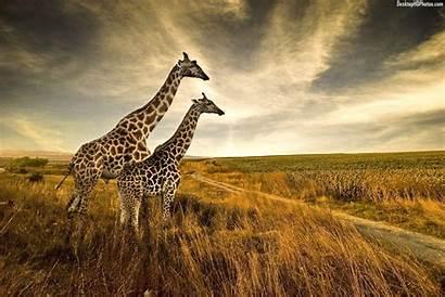 Giraffe Wallpapers Giraffes Funny Biz Animal Pair