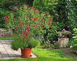 Pflege Von Oleander : oleander pflege standort schneiden d ngen vermehren giftig ~ Eleganceandgraceweddings.com Haus und Dekorationen