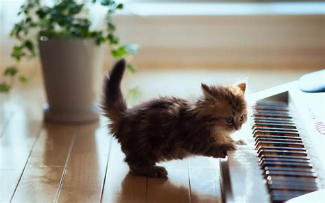 cute  cat playing piano wallpaper hd animals