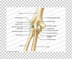 34 Elbow Diagram Anatomy