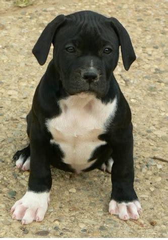 picture  black american bulldog puppy  white stomach