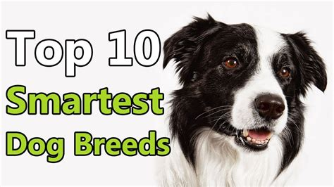 Top 10 Smartest Dog Breeds In The