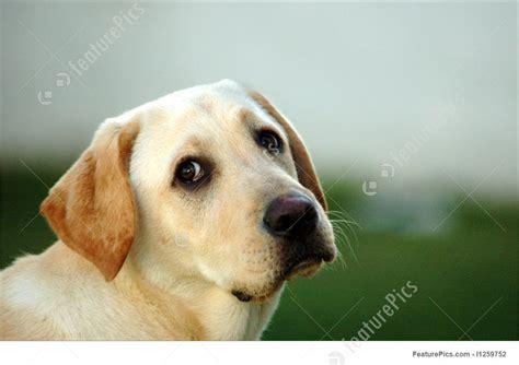 Pets La Dor Dog Head Portrait Stock Picture I At Featurepics