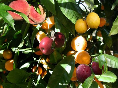 fruitsalad tree the science of pomato plants and fruit salad trees scientific american blog network