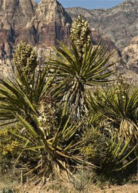 larrea tridentata creosote bush smells   desert