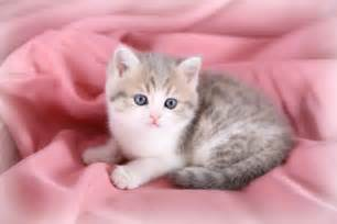 all about teacup cats cbwp