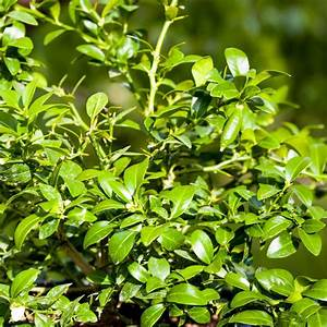 Plantes Et Jardin : citron caviar plantes et jardins ~ Melissatoandfro.com Idées de Décoration