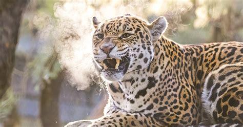 artis jaguar zoo amsterdam royal english getyourguide netherlands history