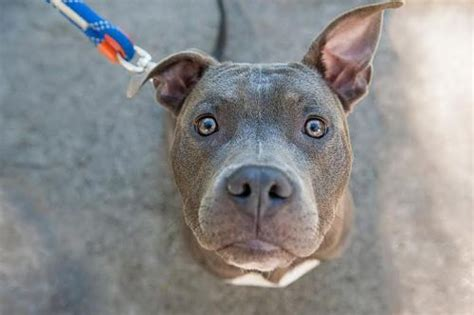 images pits jake s story pit bull escapes sad beginning for happy ending