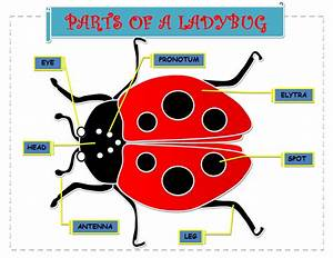 A Place For Kindergarteners  Learn The Parts Of A Ladybug