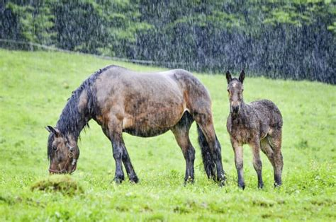 rain rot horses dealing scald horse wet recognizing grazing equine stable tend muddy riding