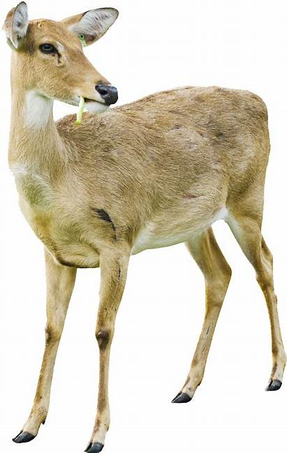 Deer Transparent Whitetail Doe Tailed Backgrounds Clipart