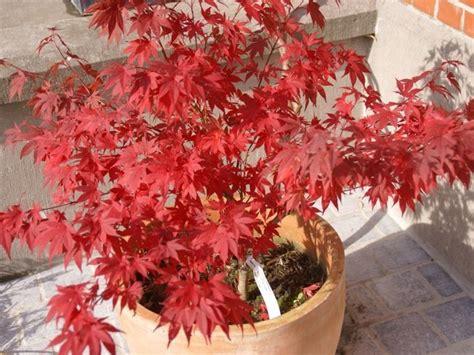 erable japonais en pot erable en pot 28 images erable pourpre du japon acer palmatum dissectum inaba shidare ou