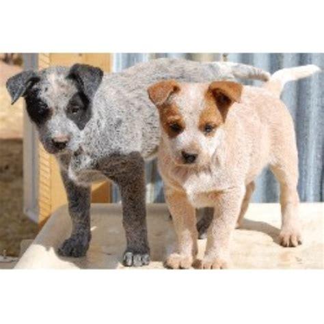 ks ranch heelers australian cattle dog breeder  arminto