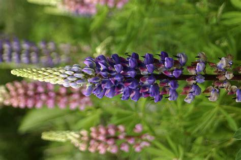 lupin flower lupin flower spirit blog spiritblogger s blog