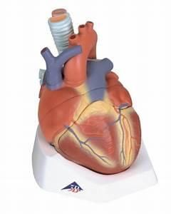 Heart Anatomy Model  7 Part Model