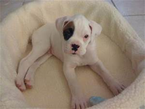 Pics For > White Baby Boxer Dog