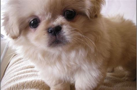 tag for cute small dog breeds list with pictures litle pups