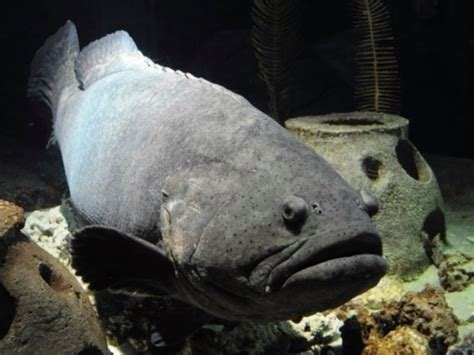 grouper goliath cleatus aquarium florida dies year down pretty patch beloved resident hands popular he been most opened doors since