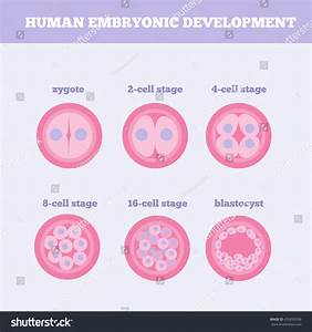 Human Embryonic Development Medical Vector Illustration ...