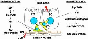 Hpo signaling regulates ISC proliferation through both ...