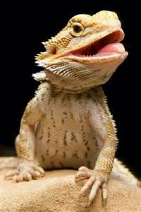 Bearded Behavior Before Shedding by The Bearded Dragons Forum