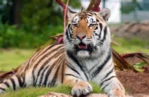 Mike Vi LSU Tigers Mascot