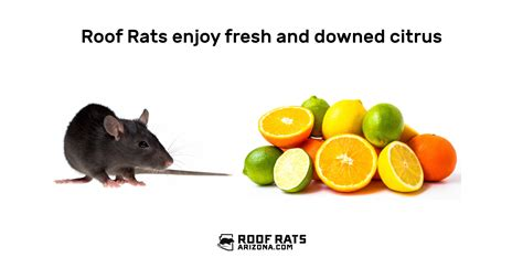 Rats Eating Nuts
