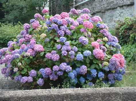 hydrangea bushes family tree and turf care 174 landscape inventory