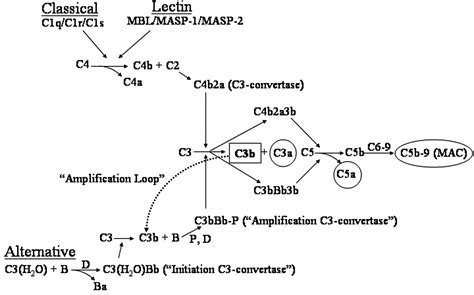 central role   alternative complement pathway