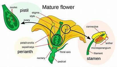 Petal Flower Diagram Wikipedia Mature
