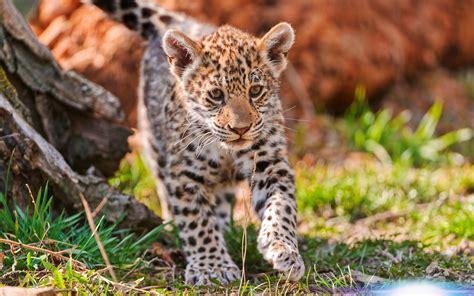Jaguar Animal Hd Wallpapers 1080p - jaguar animal wallpapers jaguar pictures images 1080p
