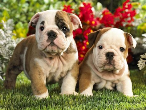 Newborn  Ee  Bulldog Ee    Ee  Puppy Ee   Live Webcam Boing Boing