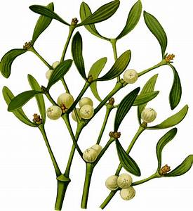 Clipart - Mistletoe 2