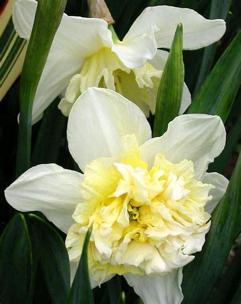 fluffy daffodils