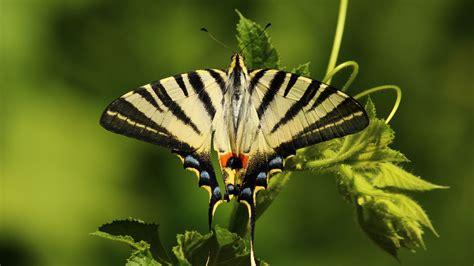 wallpaper butterfly green  animals
