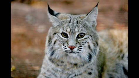 Bobcat Animals