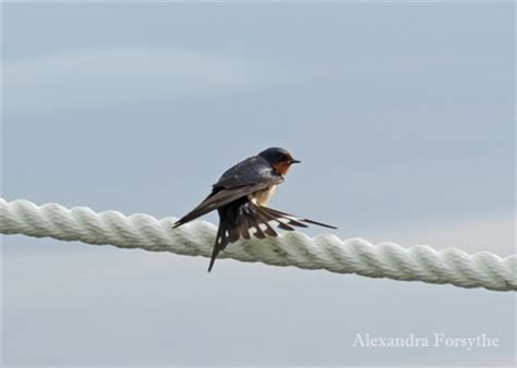 swallows hummingbirds swifts midwest bird watching