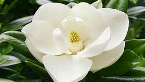 Fleur De Magnolia : magnolia feuillage persistant ~ Melissatoandfro.com Idées de Décoration