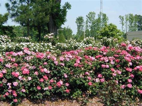 come piantare le in giardino fiori come profumare i fiori il professore delle erbe