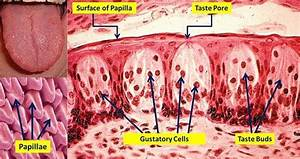 Taste Buds Are Microscopic Structures Located On The