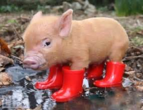11 benefits to owning a micro pig
