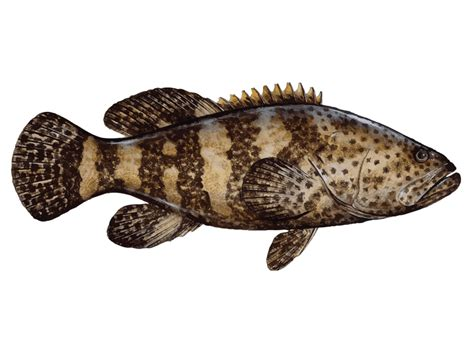 grouper goliath atlantic