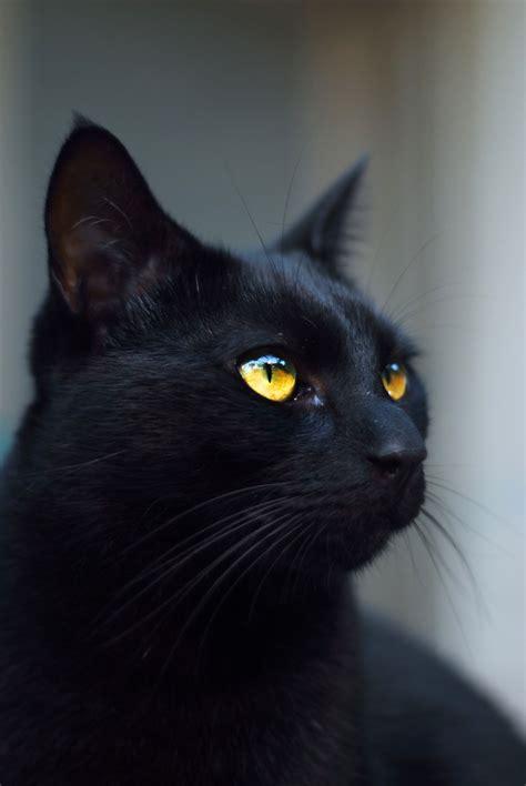 Free Images  Spooky, Animal, Dark, Pet, Halloween, Feline