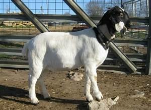 South African Boer Goat Does - Boer Goats