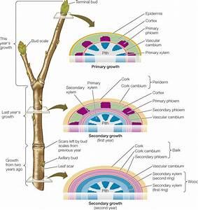 Vascular Cambium Tree