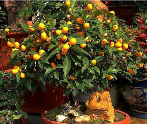 Free Shipping Bonsai Small Fruit Plants Potted 18 Piece