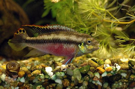 freshwater fish wallpaper wallpapers gallery
